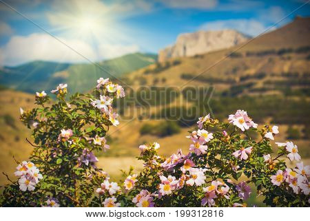 Beautiful Crimea mountain valley with briar flowers