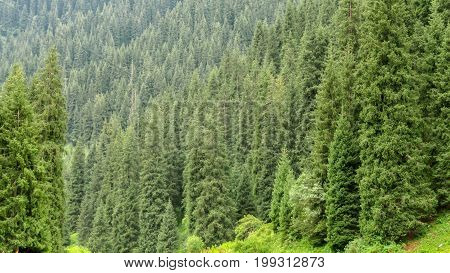 Tien Shan Firs Background