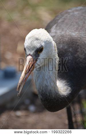 Beautiful White Hooded Crane With a Long Beak