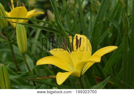 Really Stunning Yellow Lily in Full Bloom