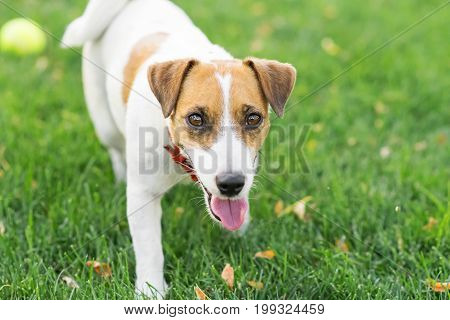 A cute dog Jack Russell Running on green lawn