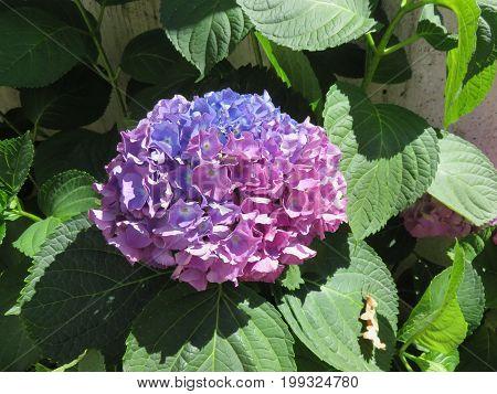 L'ortensia è una pianta con i fiori di tanti colori e forme anche se la foglia rimane la stessa