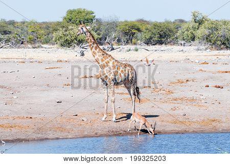 A Namibian giraffe Giraffa camelopardalis angolensis and a black-faced impala ram Aepyceros melampus at a waterhole in Northern Namibia
