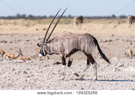An oryx also called gemsbok Oryx gazella walking in Northern Namibia
