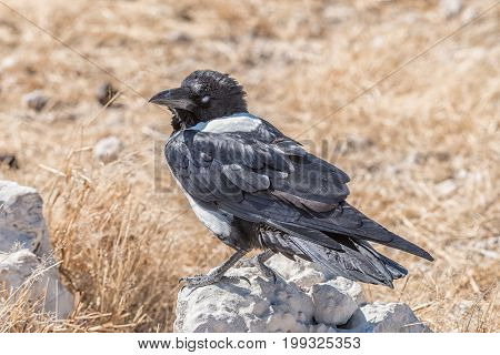 A pied crow Corvus albus on a rock in Northern Namibia