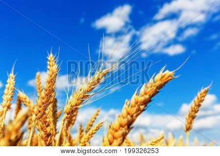 View of wheat ears and blue cloudy sky