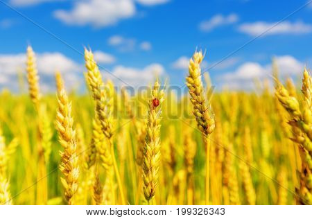 Wheat ears and ladybug on a background of cloudy sky