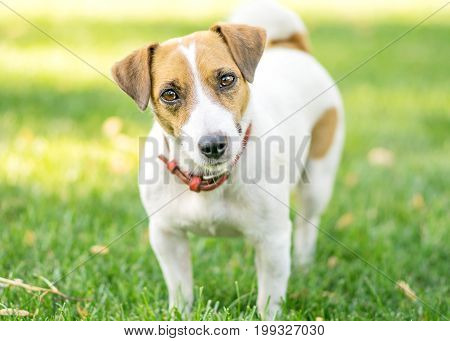 Portrait of a small dog Jack Russell Terrier standing on green lawn outdoor and looking in camera at summer day
