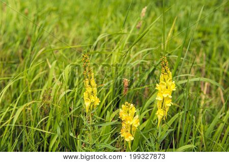 Closeup of a yellow flowering budding and overblown common toadflax of Linaria vulgaris plant growing between grasses and other wild plants on a sunny day in the Dutch summer season.