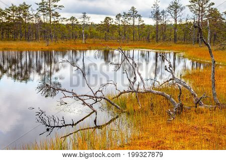 Beautiful bare trunks near swamp lake, autumn season. Viru bogs at Lahemaa national park