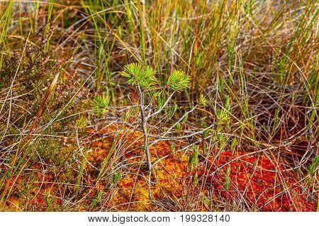 Small and growing pine tree, autumn season. Viru bogs at Lahemaa national park