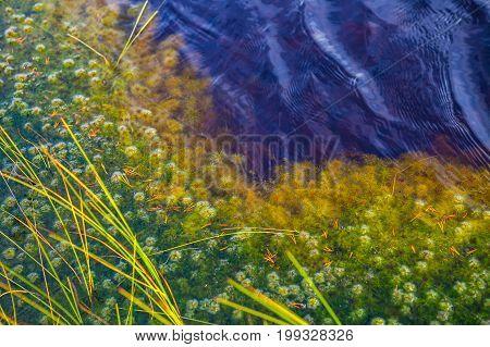 Grass and moss in swamp lake, autumn season. Viru bogs at Lahemaa national park