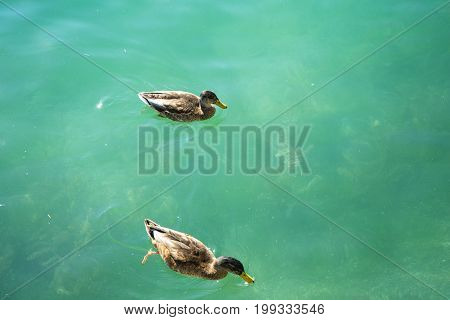 duck in turquoise water pair swimming in lake blue