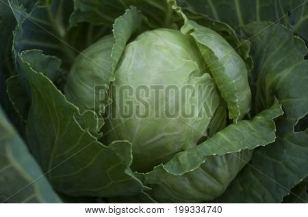 Green cabbage is growing in the garden. Harvest