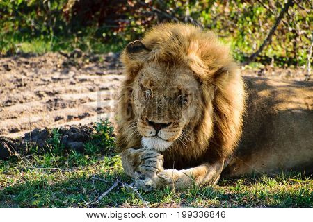 Male lion dozing using its paws as a head rest