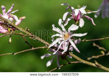 magnoliaceae,  stellata magnolia rosea, branches of the plant with large flowers with thin petals, white and pink shades, several in bloom, spring period, background the green grass is blurred,