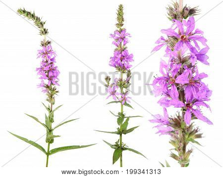 Purple loosestrife (Lythrum salicaria) isolated on white background. Medicinal plant