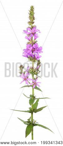 Purple loosestrife (Lythrum salicaria)isolated on white background. Medicinal plant