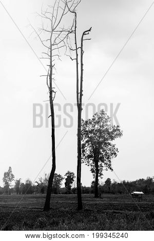 Rural landscape. Black and white forest In the tropics Tree branches die arid. Tropical Asia Thailand