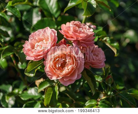 rose variety Marie Curie, beautiful and unusual shape, with wavy petals and pointed tips of petals, pink outer petals, and apricot-colored center, cluster in bloom, lit by the sun,