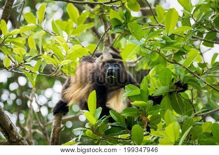 Howler monkey on the tree eating leaf