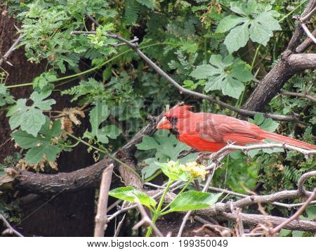 Red Cardinal in tree perched on a branch with green leaves looking at the camera closeup macro in tropical Maui island, Hawaii, USA