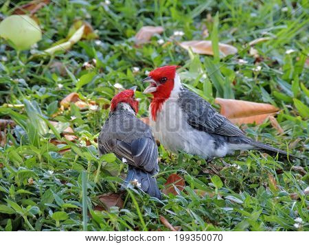 Two Red-crested cardinals on the ground in grass fighting, squawking at each other, beaks open detail macro