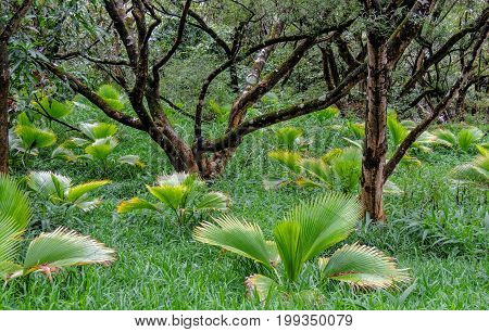 Lush tropical vegetation and gnarly trees and palm fan bushes in tall grass of the Hawaii Tropical Botanical Garden of Maui of Hawaii, USA