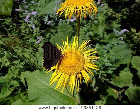 Flower elecampane , (Inula helenium) , Yellow flower and butterfly