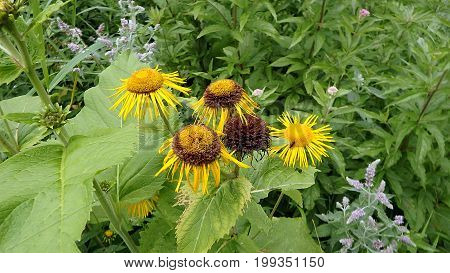 Flower elecampane , (Inula helenium) , Yellow flower