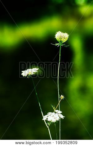 White wild flower conversation. Wildflowers, anemone nemerosa, macro with narrow DOF. Romantic spiritual and minimalism wildflower close up.