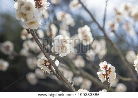 White Flowers of Cherry Plum tree selective focus japan flower Beauty concept Japanese Spa concept