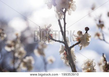 White Flowers of Cherry Plum tree selective focus japan flower Beauty concept Spa concept