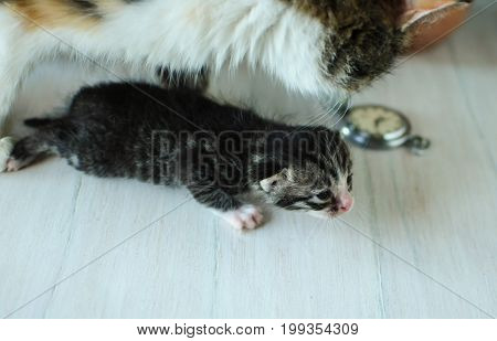 Careful mother for little kittens. A small, fluffy kitten. Lovely creature. Beauty
