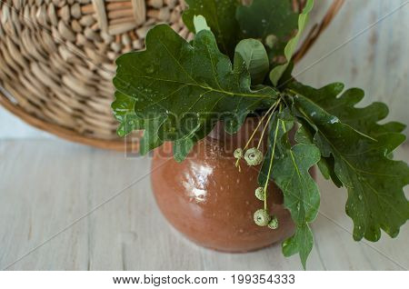 Clay pot with young oak leaves.  Beauty. Still life.
