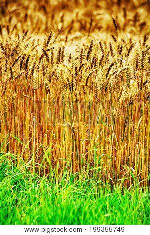 Golden Corn Background