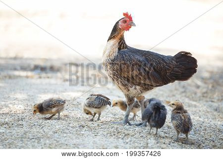 beautiful rooster, chicken, hen at rural of Thailand