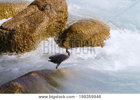 Pacific Reef Egret on the rock seaside aisia beach black pacific reef egret looking for fish at beach rock.