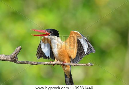 Bird (Black-capped Kingfisher Halcyon pileata) purple-blue wings and back black head and shoulders white neck collar and throat and rufous underparts perched on a tree in the forest.