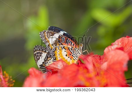 Exotic Butterfly on flowers beautiful butterfly and flower in the garden of tropical Bali island Indonesia. Close Up butterfly on flower.