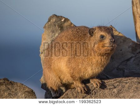 Sun Bathing Rock Hyrax Aka Procavia Capensis At The Otter Trais At The Indian Ocean