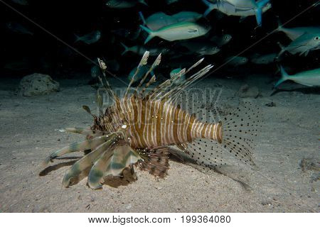 Lionfish in the red sea in egypt