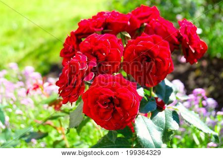 Horizontal photo of beautiful red roses in a garden