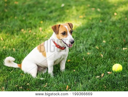 A cute dog Jack Russell Terrier resting after play with a small Tennis ball on green lawn