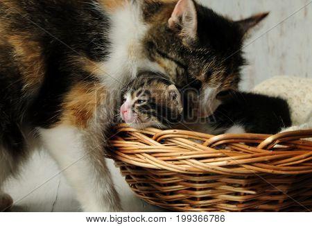 Careful mother for little kittens. A small, fluffy kittens.