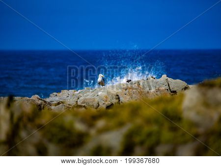 Sea Gull In Front Of Breaking Waves At The Indian Ocean