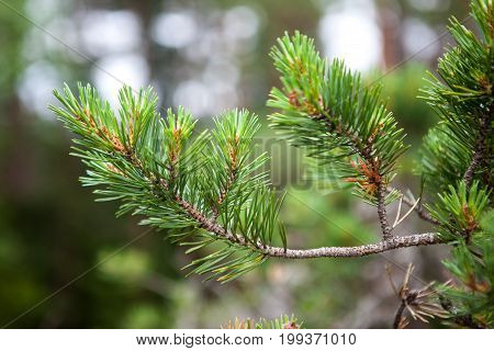 fresh needle leaves on pine branch at spring
