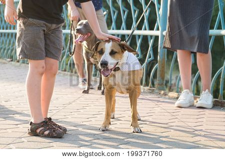 Little boy gratifies friendly staffordshire terrier dog outdoors. Child pats socialized dog in the park on a sunny day