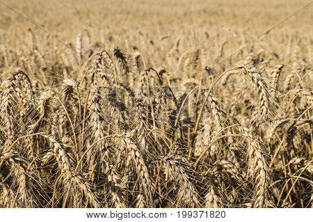 A field of ripe wheat. Bread-corn or rye pikelets under the summer sun
