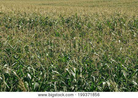 Field of corn plants. Large farmer plantation of corn